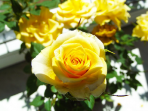 yellow-rose-593054_640
