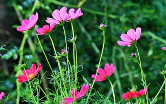 pink-cosmos-292629_1280